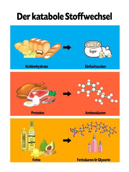 Was bedeutet kataboler Stoffwechsel